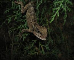 Emma's Garden Lizard