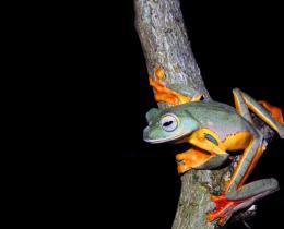 Two-Spotted Flying Frog